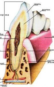 Анатомическое строение зуба