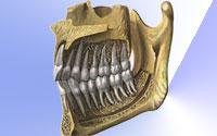 Зубочелюстная система