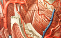 Кровоснабжение и иннервация зубов